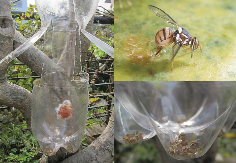 Bẫy bả diệt ruồi đục quả