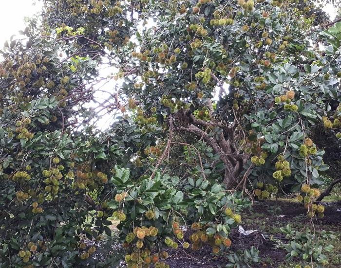 kỹ thuật chăm sóc cây chôm chôm