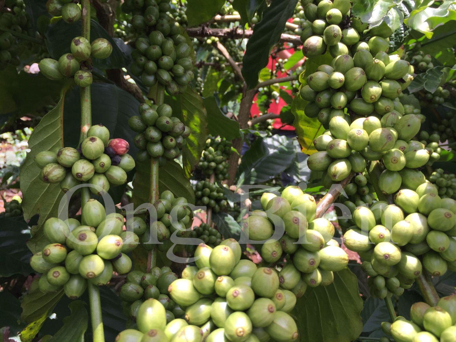 Biện pháp hạn chế rụng trái non trên cây cà phê - Phân bón