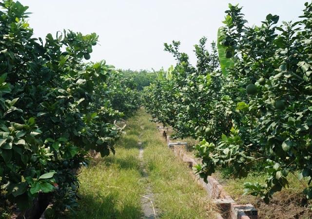 Kỹ thuật trồng và chăm sóc cây có múi (Phần 2) - Phân bón hữu cơ - Nhà máy  sản xuất Phân bón Ong Biển