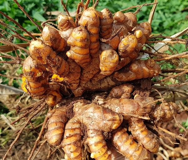 Kỹ thuật trồng và chăm sóc cây Nghệ - Phân bón hữu cơ - Nhà máy sản xuất  Phân bón Ong Biển